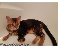 Bengalski kot - nowa miłość potrzebna od zaraz