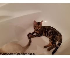Bengalski kot - sliczny mały tygrysek