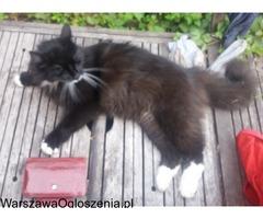 ZAGINĄŁ KOT - WARSZAWA (Wilanów) - NAGRODA 1000 zł PILNE
